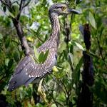 Weedon Island Preserve, Heron