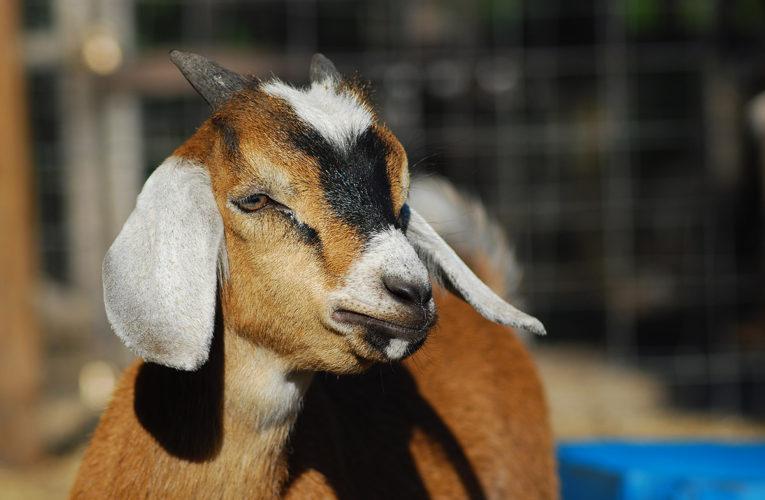 Goat Kids For Sale!